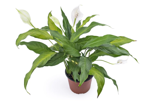 5 best indoor plants style up interior dos and don ts on indoor plants shilpakala blog. Black Bedroom Furniture Sets. Home Design Ideas